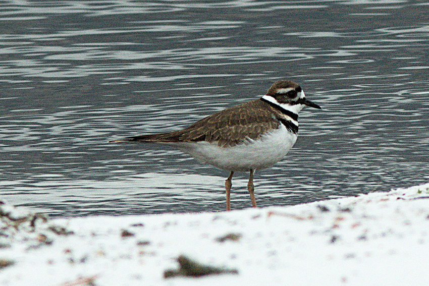 A Killdeer forages along the shores of Nicola Lake, 14 Dec 2014.  Photo: Corey Burger