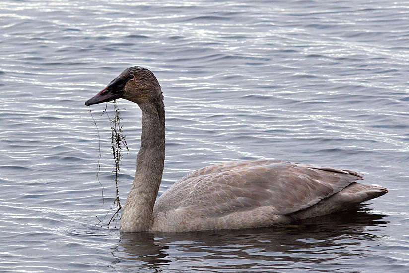 Easier to identify this way up - its a  Trumpeter Swan (juvenile), one of 52 recorded on Nicola Lake on the 2014 Merritt Christmas Bird Count. Photo: Corey Burger