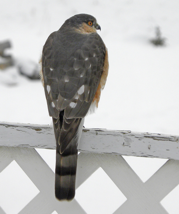 A Sharp-shinned Hawk visits an urban feeder in Merritt. Photo: © Tom Edwards