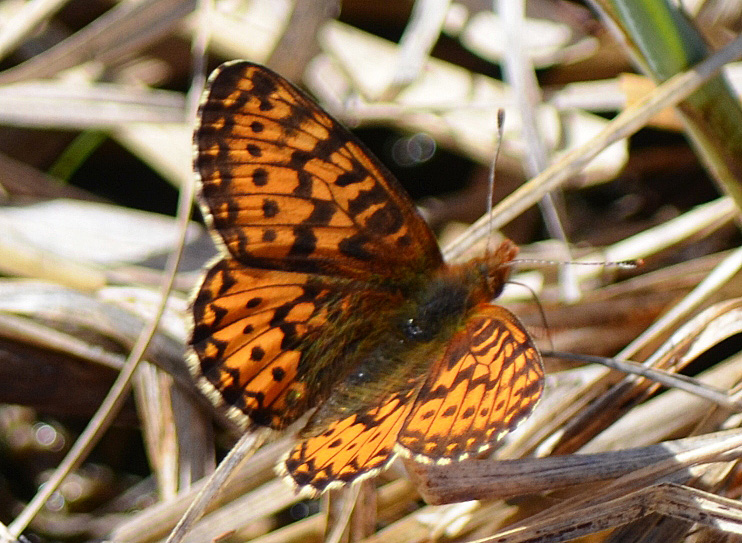 Freija Fritillary April 17, 2015 Rush Lake
