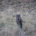 Great Grey Owl near Merritt (photo: Carol &amp; Jack Madryga)