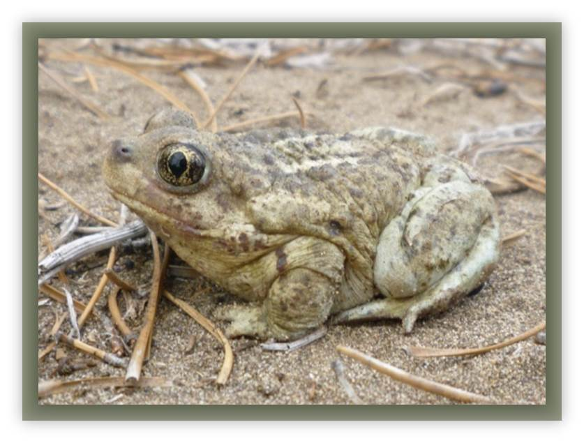 A Great Basin Spadefoot. Photo © Jocelyn Garner