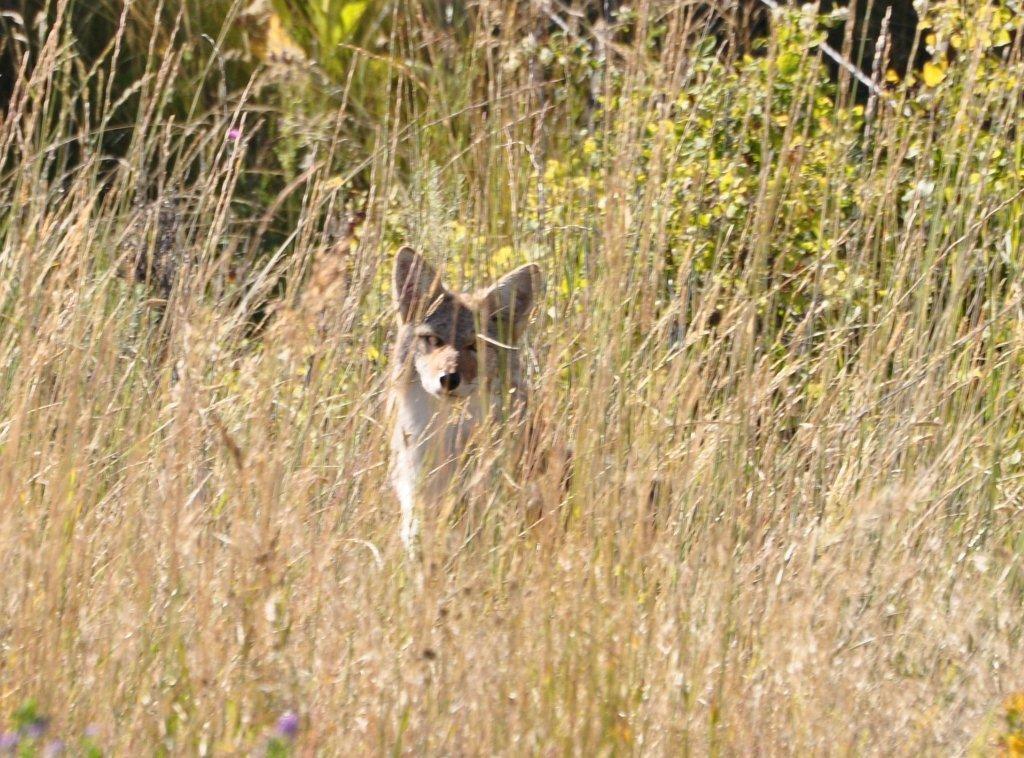 Vicious Coyote