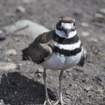 Killdeer (photo: Gloria Brenner)