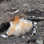 Killdeer giving broken-wing display near nest (photo: Gloria Brenner)