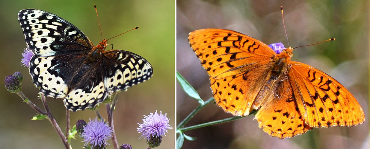 Great Spangled Fritillary July 21 23 2015. ©Bob Scafe