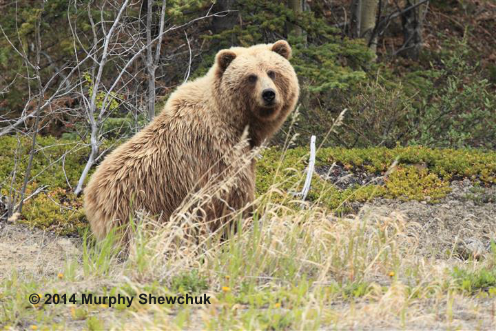 A Grizzly Bear - just one of many wildlife experiences Murphy will share with us. Photo: © Murphy Shewchuk