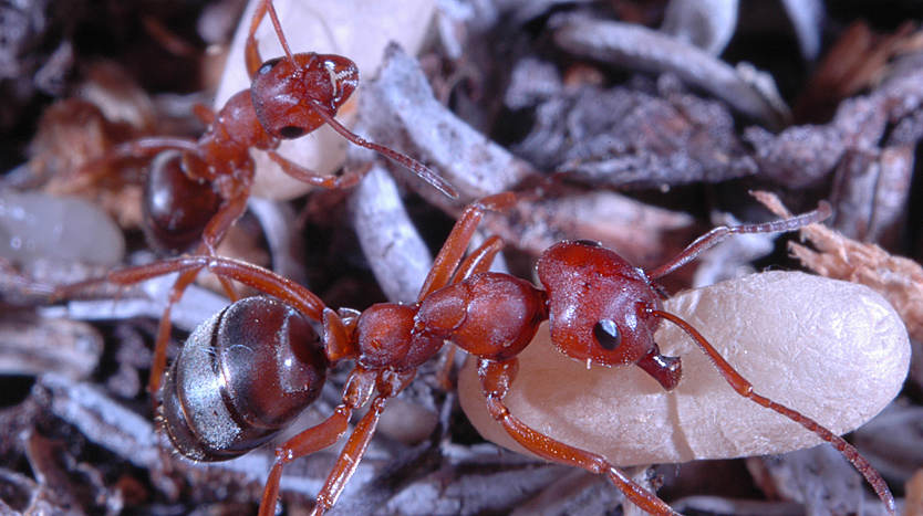 Formica aserva ants, a widespread species in Canada, with their pupae. Photo courtesy Rob Higgins