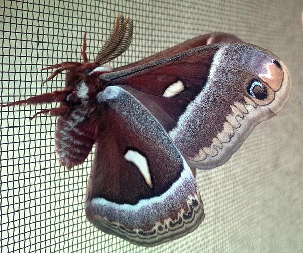 Ceanothus Silkmoth Hyalophora Euryalus Euryalus. May 17, 2015 © Loretta Holmes