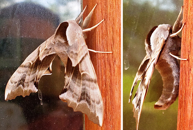 One-eyed Sphinx Moth, May 20 2015 at Guichon Ranch. ©Loretta Holmes
