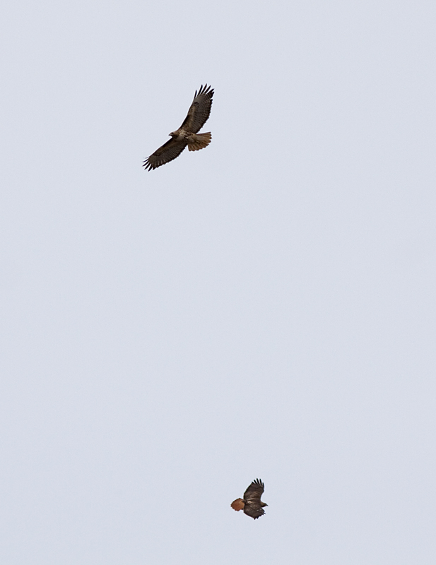 A pair of Red-tailed Hawks circling over the grasslands. Photo: © Alan Burger