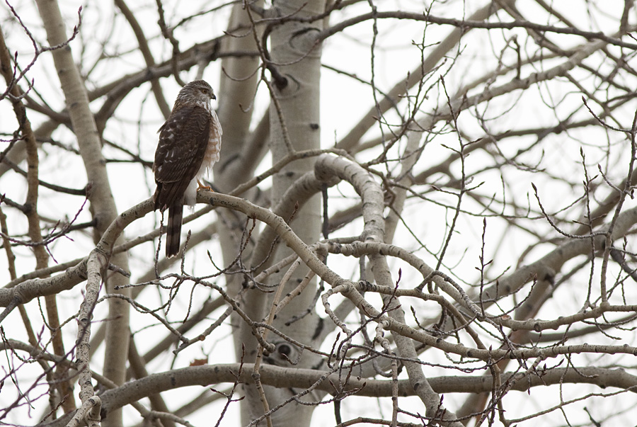 This Sharp-shinned Hawk was hunting small birds in the aspen thickets, Pennask Lake Road. Photo: © Alan Burger