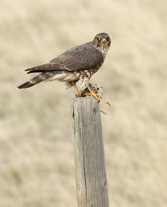 This Merlin had just caught a small bird (likely a Vesper Sparrow) and was plucking and eating it on a post - Pennask Lake Road. Photo: © Alan Burger
