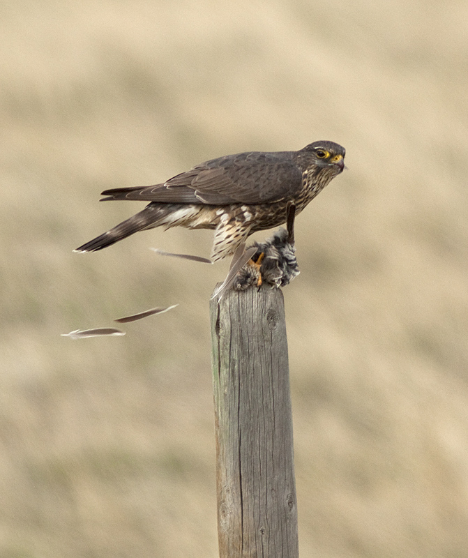 Tail feathers fly as the Merlin plucks its prey - Pennask Lake Road. Photo: © Alan Burger