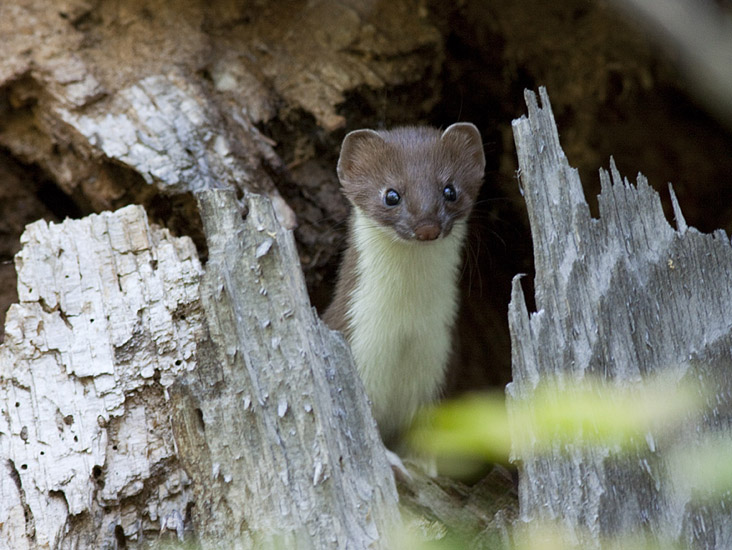 Short-tailed Weasel in summer - a voracious predator of mice and voles. The density and distribution of weasels and other small mammals is strongly affected by forestry practices in the BC interior.  Photo:  © Alan Burger