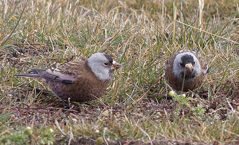 Gray-crowned Rosy-finches - uncommon migrants through the higher grassland areas near Merritt. Photo: © Alan Burger