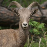Young Bighorn Sheep (photo: Corey Burger)
