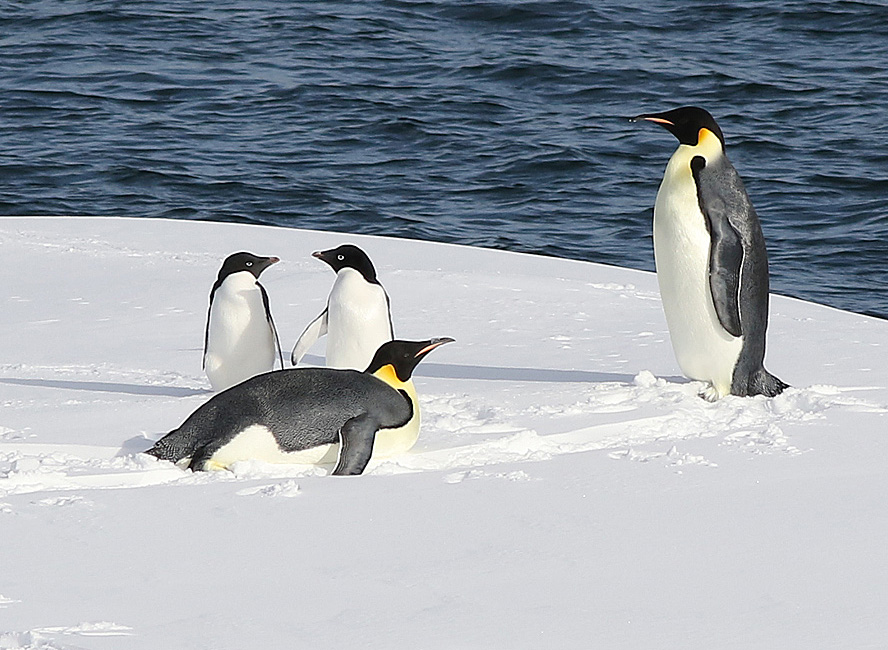 Emperor and Adélie penguins share an ice floe in the Ross Sea, Antarctica. Photo: ©Alan Burger