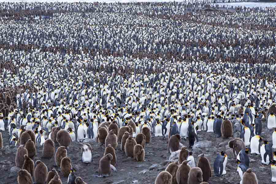 King Penguins by the thousands - St. Andrew's Bay on South Georgia in the sub-Antarctic. This is just part of this immense colony. The brown chicks from the previous breeding season are surrounded by adults incubating eggs. Photo: © Alan Burger