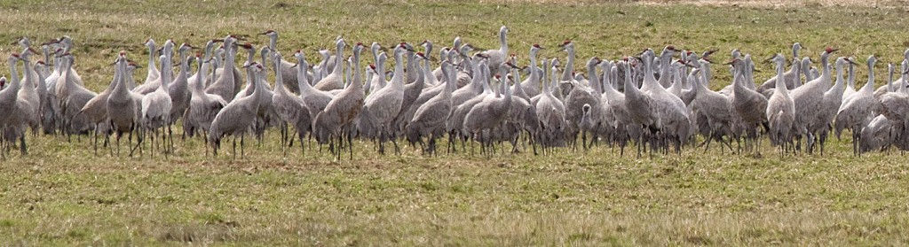 Part of a flock of 580 Sandhill Cranes foraging at Douglas Lake Ranch, 21 April 2013.  Photo: © Alan Burger