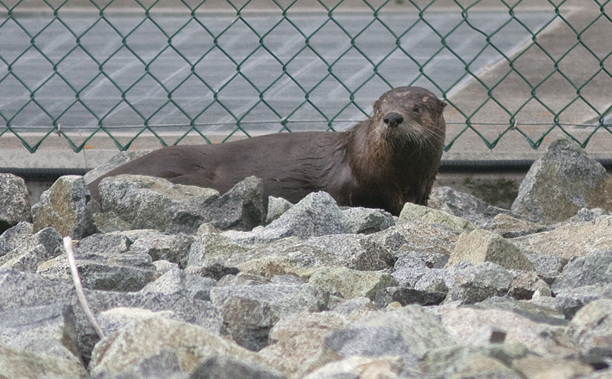 A River Otter at the Nicola Lake weir - 2 June 2013.  Photo: Alan Burger