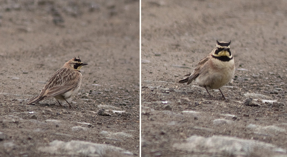 Photos of a Horned Lark on Pennask Lake Road, west of Merritt, BC. Photos © Alan Burger