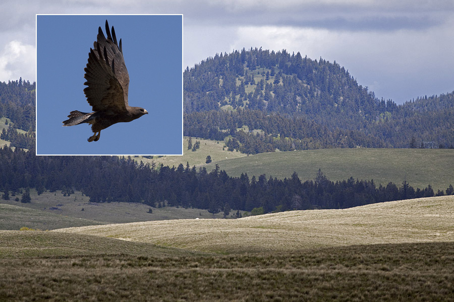 Grasslands and wooded hills of the Douglas Lake Plateau. The inset shows a Swainson's Hawk, a regular breeder on these grasslands. Photos © Alan Burger
