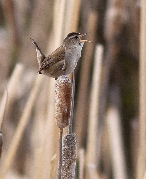 A Marsh Wren belting out its territorial song in the cat-tails at Flume Pond.  Photo © Alan Burger