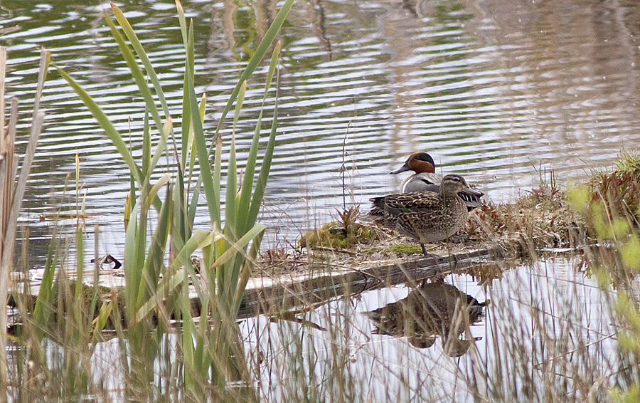 A pair of Greenwing Teal at the Flume Ponds, Pennask Lake Road. Photo © Alan Burger