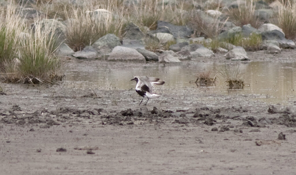 Black-bellied Plover on a saline pond, Douglas Lake Plateau, 2 June 2013. Photo:  Alan Burger