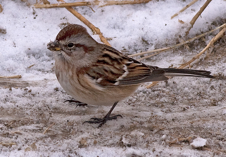American Tree Sparrow in the Merritt Christmas Bird Count, Dec 2012. Photo: © Corey Burger.