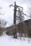 Another view of a snag labeled as a wildlife tree