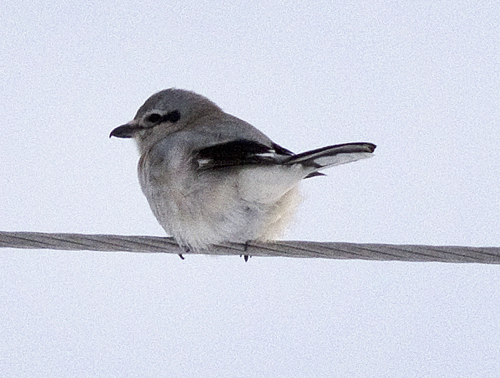 Northern Shrike - one of 8 found on the Merritt Christmas Bird Count. Photo: ©Corey Burger