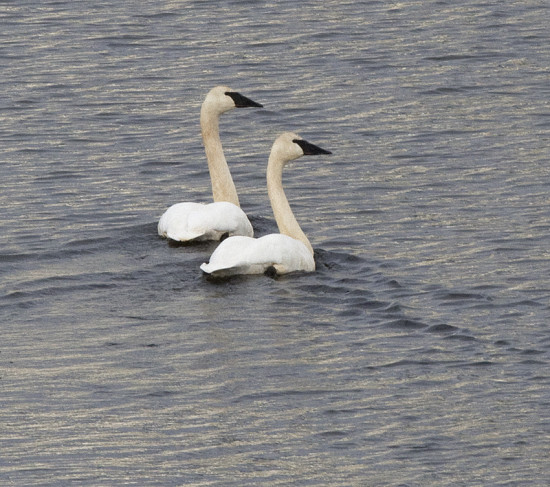 A pair of Trumpeter Swans on Nicola Lake, 20 Dec 2015. Photo: ©Corey Burger