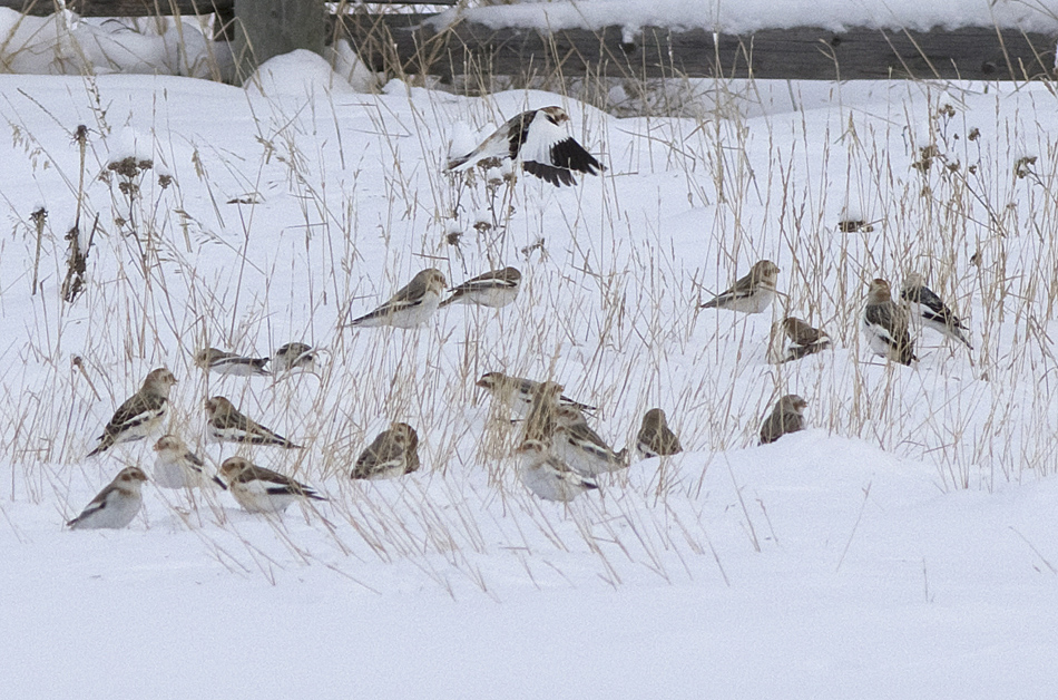 Snow Buntings feeding on roadside seeds on Pennask Lake Road, December 2015. Photo: ©Alan Burger