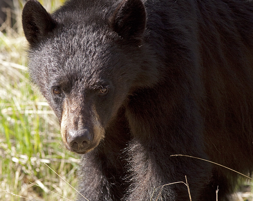 There are over 100,000 black bears in British Columbia and encounters between humans and these bears are common. Photo: ©Alan Burger