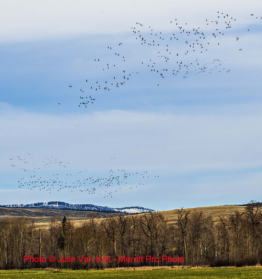 Flocks of migrating Sandhill Cranes taking off near English Bridge on the Douglas Lake Ranch, 21 April 2013. Photo:  Julie Van Koll - Merritt Pro Photo
