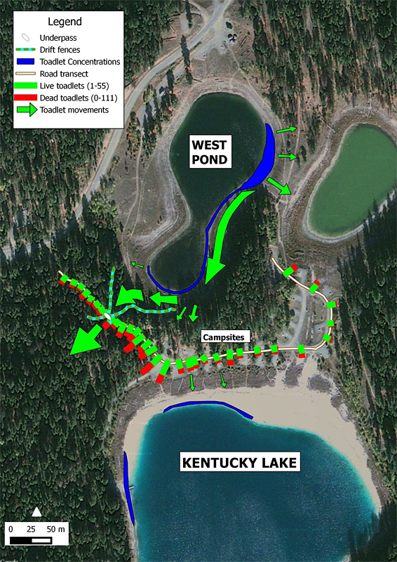 Map showing the movements of Western Toad toadlets in 2014 at kentucky Alleyne Provincial Park and the distribution of live and dead toadlets on the camp roads. © Biolinx Environmental Research Ltd.