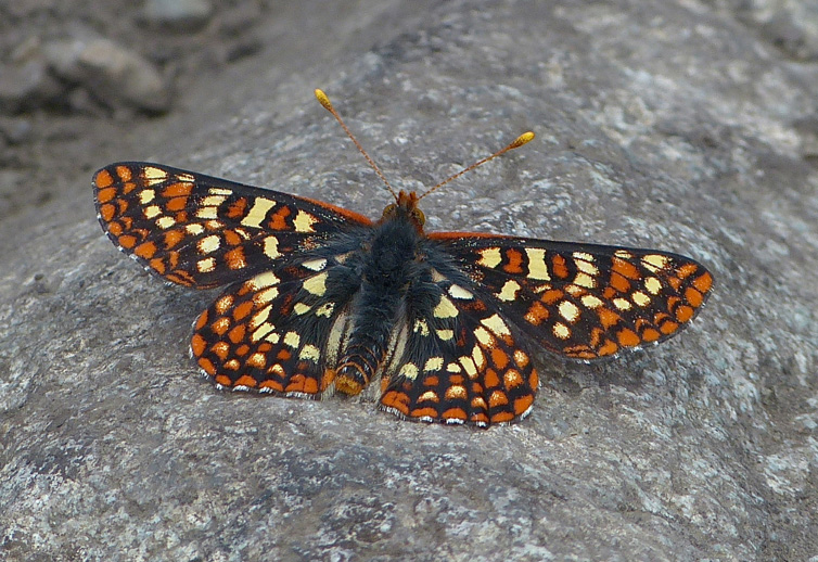 A lovely Checkerspot butterfly sunning itself.  Photo: © Kate Hill