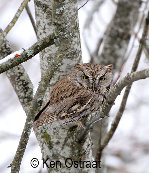 A Western Screech Owl photographed in the Okanagan Valley. Photo: © Kenneth Ostraat.