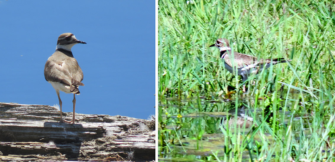 Several pairs of Killdeer breed next to the lakes and ponds on the ranch. Photos: © Bonny Kozub