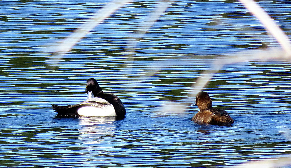 A pair of Lesser Scaup (male left, female right). Photo: © Bonny Kozub