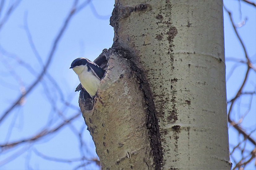 This Tree Swallow was nesting in a hollow in an aspen tree - possibly an old woodpecker nest. Photo: © Bonny Kozub