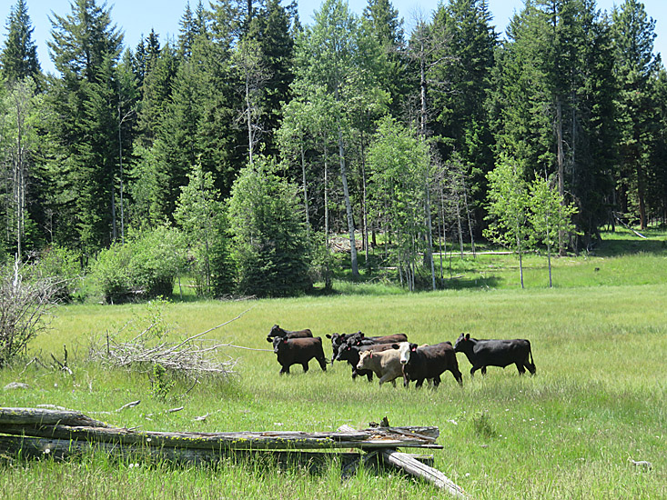 Cows are part of the ecosystem at a working ranch. Photo: © Bonny Kozub