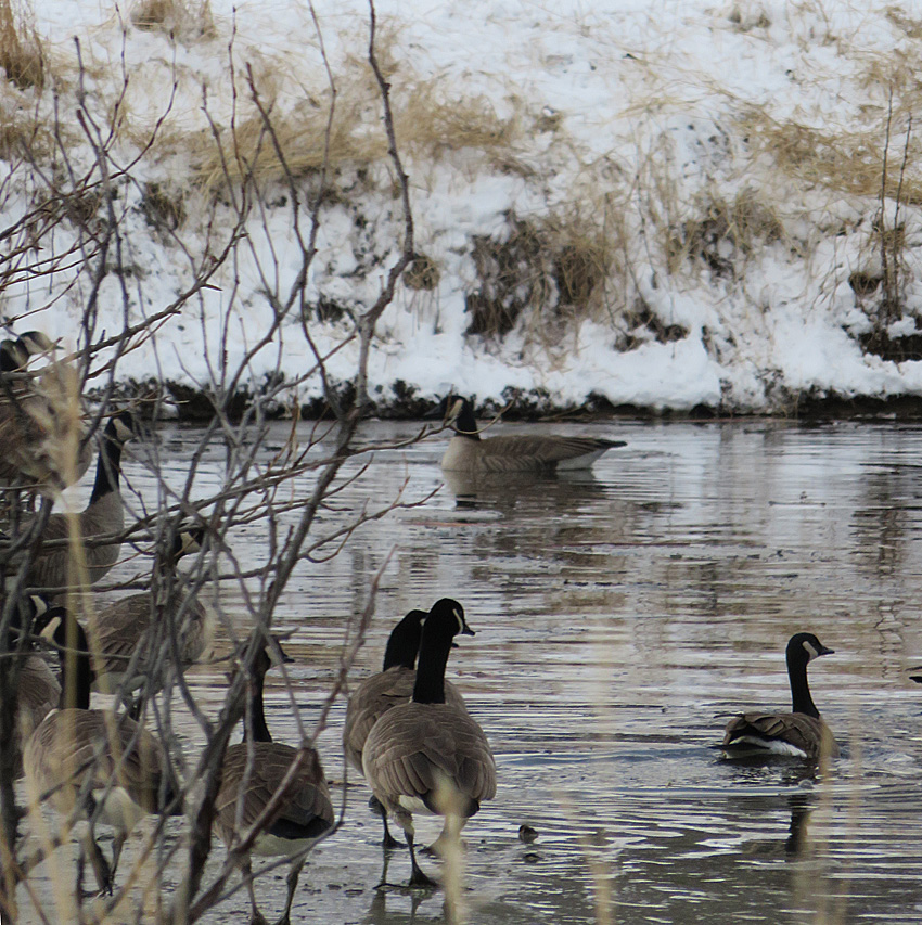 Canada Geese at the Merritt municipal settling ponds. Photo: © Krystal Woodward