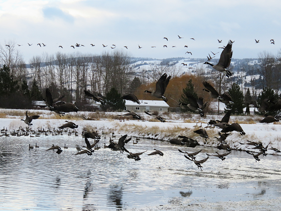 Canada Geese fill the air at the Merritt municipal settling ponds, 20 Dec 2015. Photo: ©Krystal Woodward