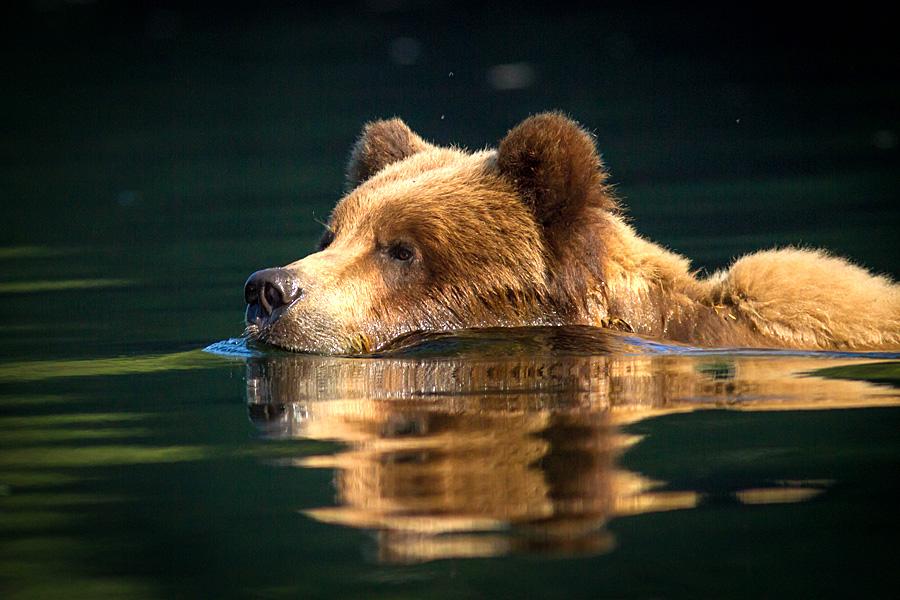 Grizzly Bear, Khutzeymateen, B.C. Photo © Kyle Blaney