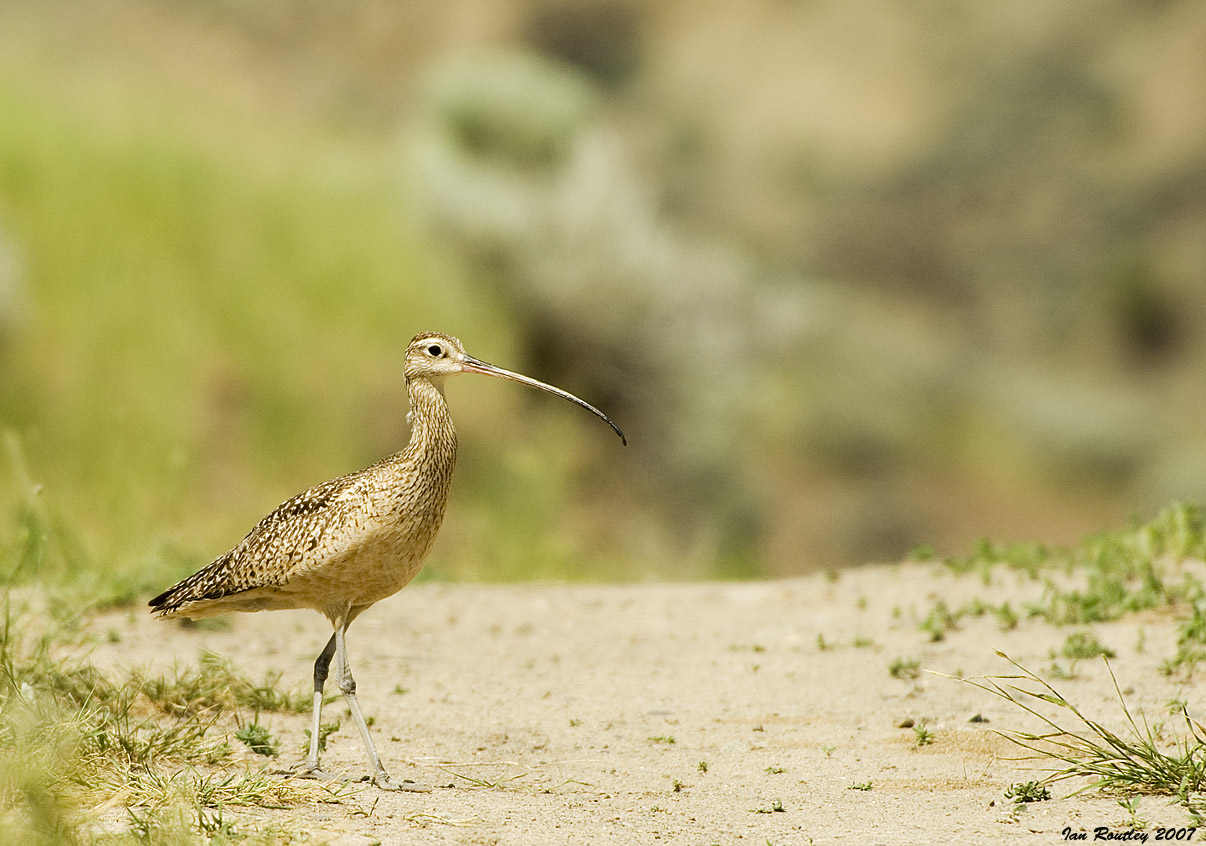 Long-billed Curlew - an uncommon breeder in the B.C. interior. Photo © Ian Routley