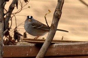 Adult White-crowned Sparrow at a Merritt feeder, Dec 2012.  Photo: © Aline Lachapelle.