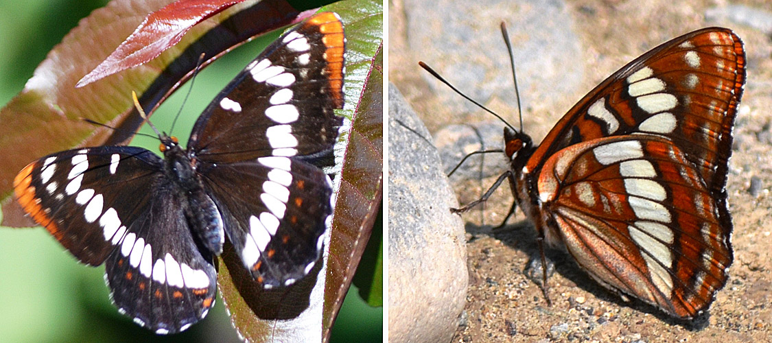 Lorquins Admiral June 8, 2015. Female on the left, male on the right. © Bob Scafe